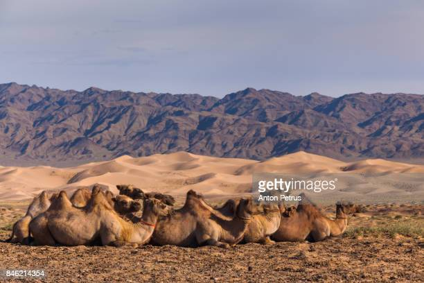 Camels in the background of the desert and mountain scenery