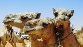 Camels in the camel market in Omdurman, Sudan