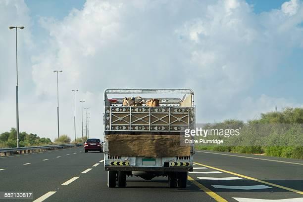 Camels in Transit