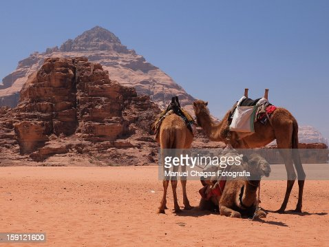 Camels in Wadi Rum -Jordan : Stock Photo