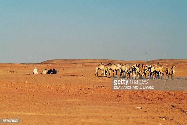 Camels near Timimoun Sahara Desert Algeria