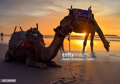 Camels On Beach Against Sky During Sunset