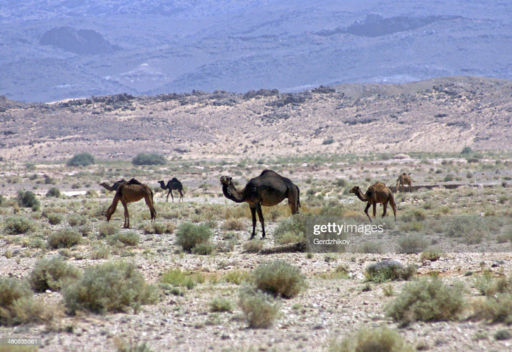 Camels : Stock Photo