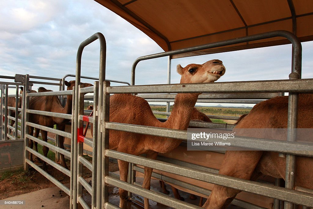 Camels queue in the milking yards of QCamel dairy on April 5 2016 on the Sunshine Coast Australia QCamel founded by Lauren Brisbane and her family in...