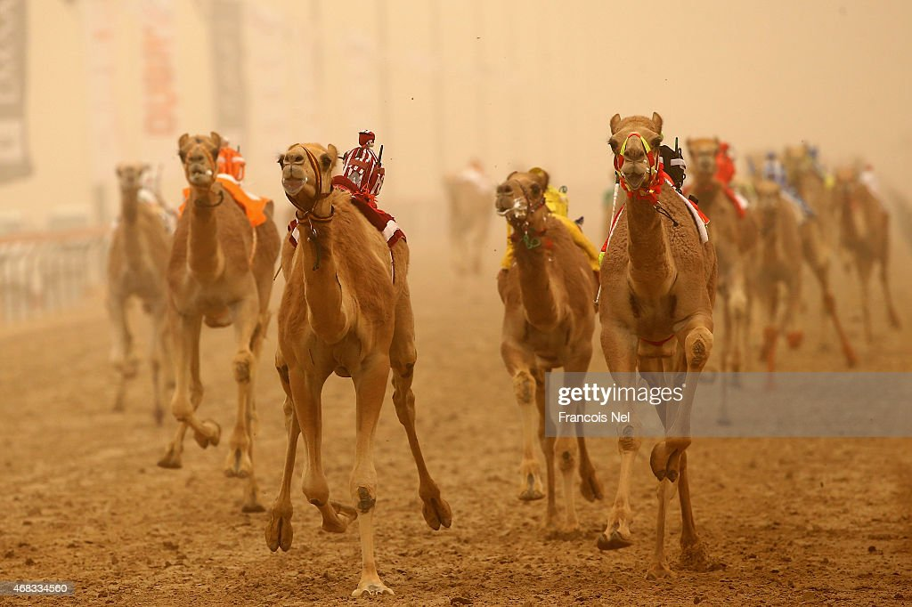 Camels race during Al Marmoom Heritage Festival at the Al Marmoom Camel Racetrack on April 2, 2015 in Dubai, United Arab Emirates. The festival promotes the traditional sport of camel racing within the region.