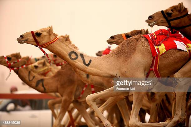 Camels race during Al Marmoom Heritage Festival at the Al Marmoom Camel Racetrack on April 2 2015 in Dubai United Arab Emirates The festival promotes...