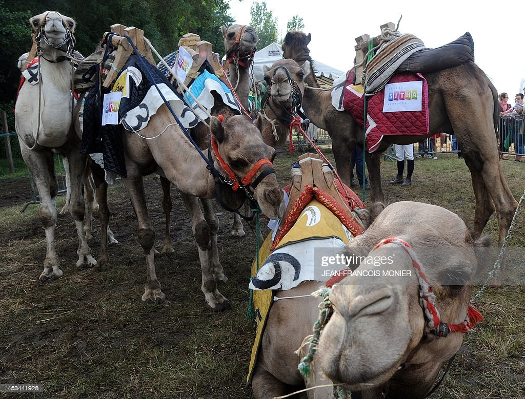 Camels rest during a French Cup of camel races on August 10, 2014 on the horserace track of La Chartre-sur-le-Loir, western France. Unusual in these latitudes, eight dromaderies that have never seen the desert, took part in two races of 1000 meters.