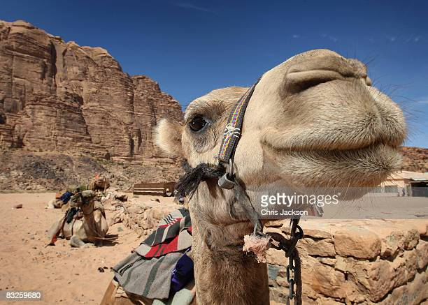 Camels sit waiting to be ridden by tourists in Wadi Rum on October 12 2008 in Petra Jordan The sandstone in the region has given rise to unique rock...