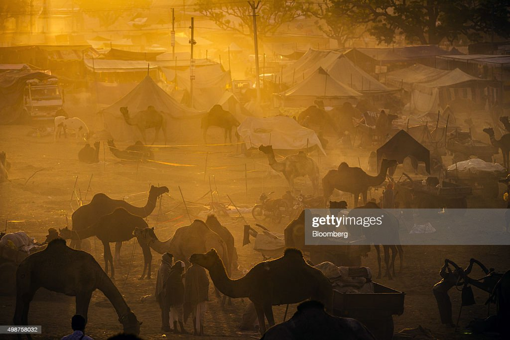 Camels stand tethered at the fairgrounds of the Pushkar Camel Fair in Pushkar, Rajasthan, India, on Friday, Nov. 20, 2015. Throw together hundreds of thousands of rural Indians, colorful festivals and throngs of tourists and you get the annual Pushkar Fair. Photographer: Prashanth Vishwanathan/Bloomberg via Getty Images