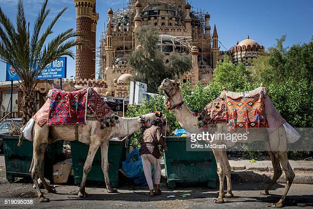 Camels used to give tourist rides are seen being fed out of dumpsters in the Old Market district on April 3 2016 in Sharm El Sheikh Egypt Prior to...