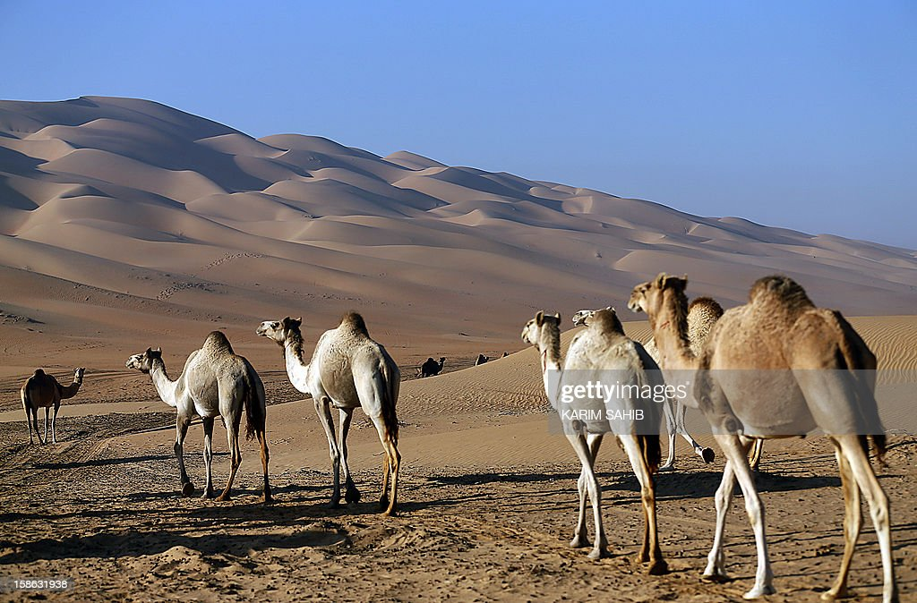 Camels walk in the Liwa desert, 220 kms west of Abu Dhabi, on the sidelines of the Mazayin Dhafra Camel Festival on December 22, 2012. The festival, which attracts participants from around the Gulf region, includes a camel beauty contest, a display of UAE handcrafts and other activities aimed at promoting the country's folklore.