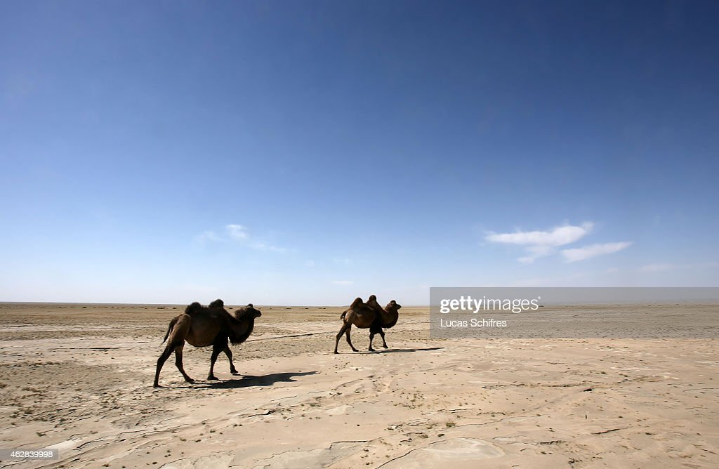 Camels walk in the Taklamakan desert on October 12 2006 in Xinjiang province China