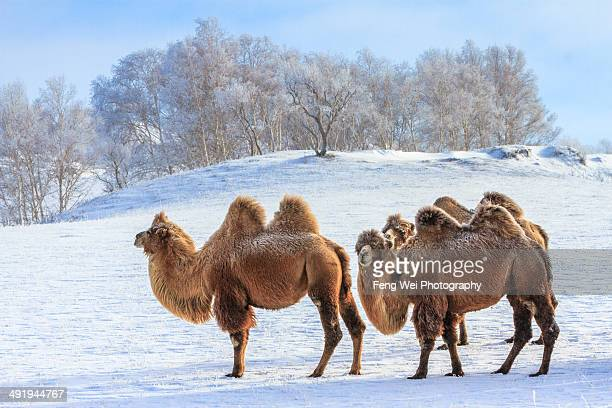 Camels @ Winter Grassland, Inner Mongolia, China