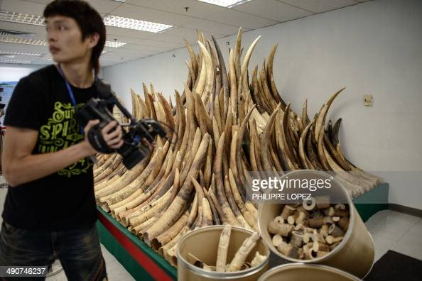 A cameraman stands by seized ivory tusks displayed prior to their destruction by incineration in Hong Kong on May 15 2014 Authorities incinerated the...
