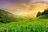 Sun setting over the Cameron Highland Tea plantations.