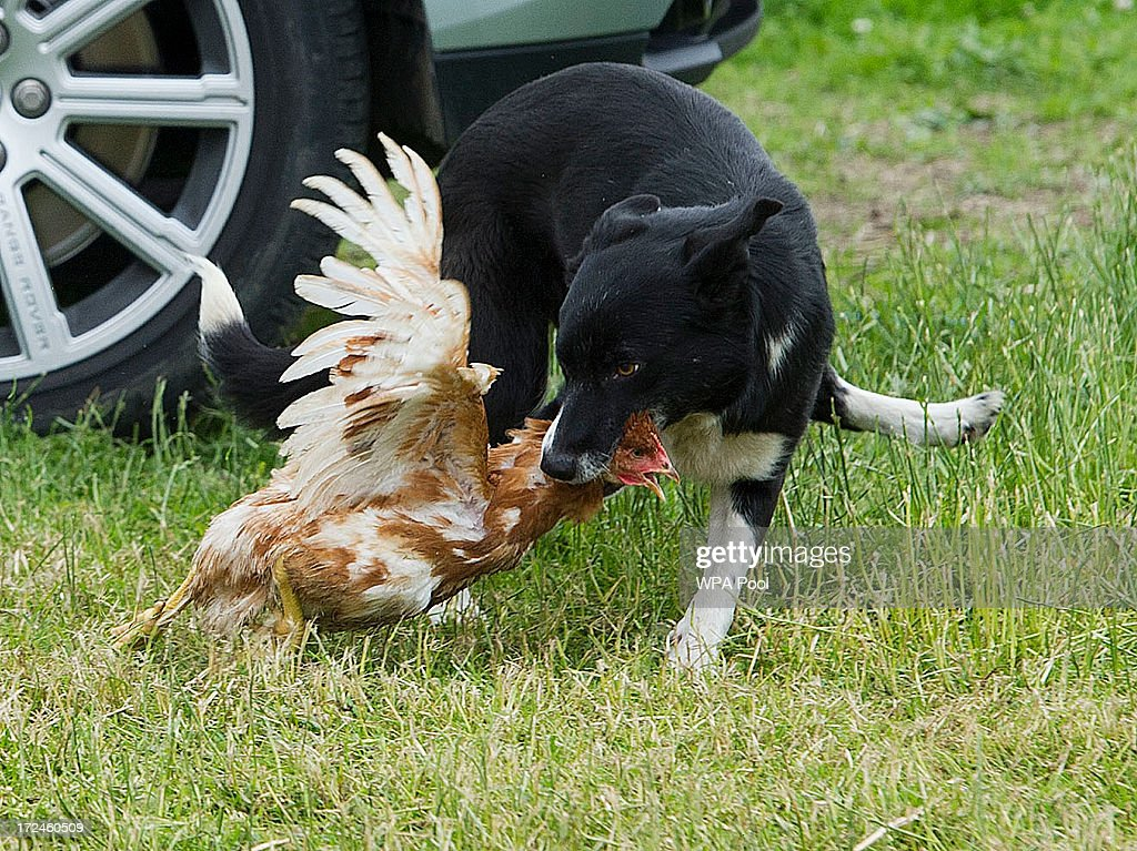 Camilla, Duchess of Cornwall and Prince Charles, Prince of Wales (not pictuerd) watch a Border Collie dog named Dot as it rounds up chickens during a tour of Rhug Estate Farm on July 2, 2013 in Corwen, Denbighshire, Wales, United Kingdom.