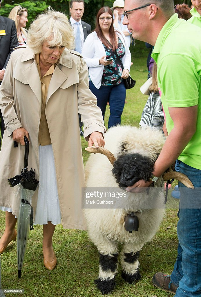 Camilla, Duchess of Cornwall looks at a ram during a visit to The Royal Norfolk Show at Norfolk Showground on June 29, 2016 in Norwich, England.
