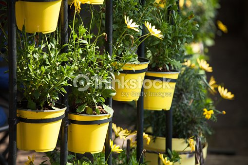 Cammomile flowers grow in round yellow flower pots stock photo cammomile flowers grow in round yellow flower pots stock photo mightylinksfo