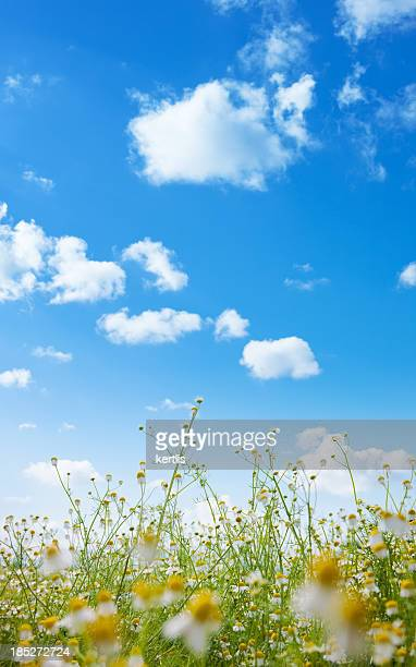 Camomille champ et ciel bleu