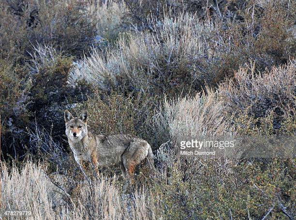 Camouflaged coyote
