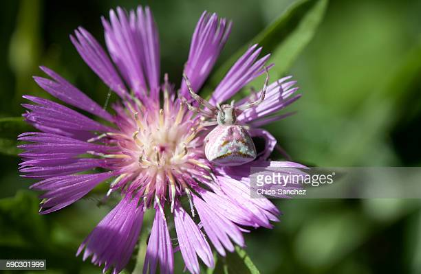 A camouflaged spider perches on a purple flower in Prado del Rey, Sierra de Cadiz, Andalusia, Spain