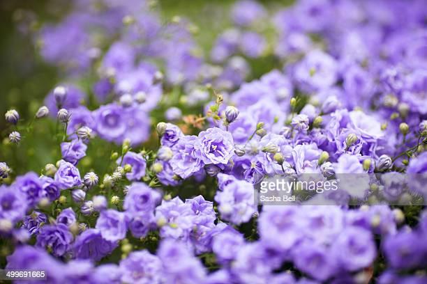 Campanula (Summer Pearl) Flowers