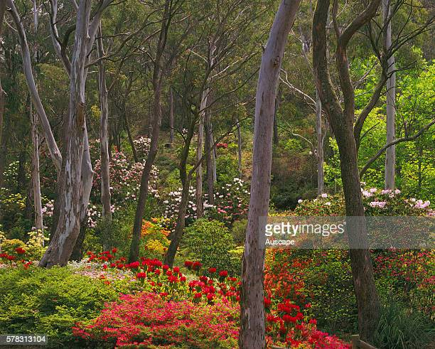 Campbell Rhododendron Gardens in spring Blackheath Blue Mountains New South Wales Australia