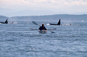 Campers Kayaking Towards Orca Pod