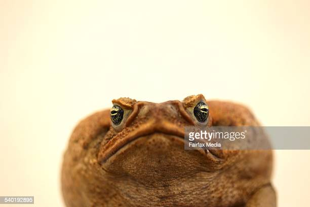 A can toad at Rick Shine's laboratory at Sydney University