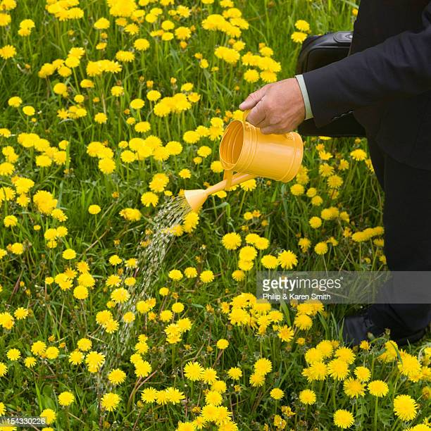 Canada, Alberta, Businessman pouring water from bucket onto field of dandelion flowers