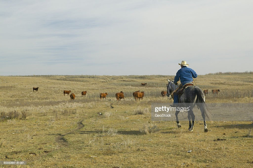 Canada, Alberta, cowboy herding cattle on horse, rear view : Stock Photo