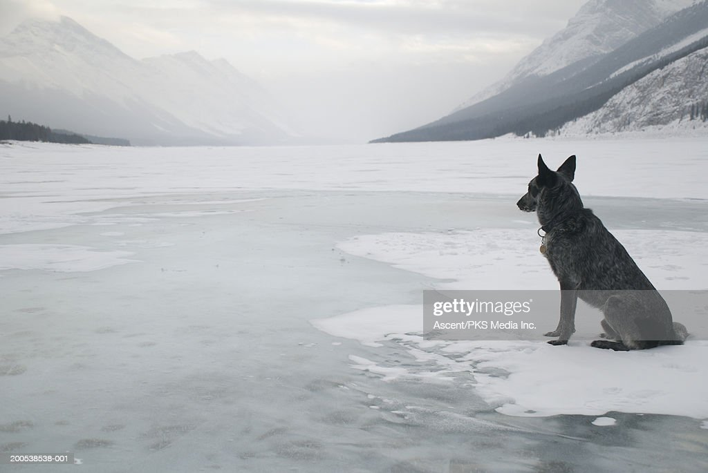 Canada, Alberta, mixed breed dog sitting on ice-covered Spray Lake : Stock Photo