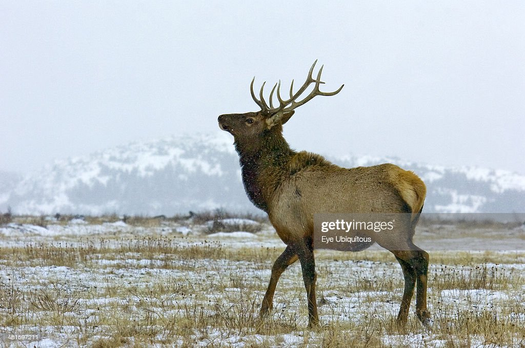 Canada Alberta Waterton Bull Elk during the fall rut at Waterton Lakes National Park with snow on the ground