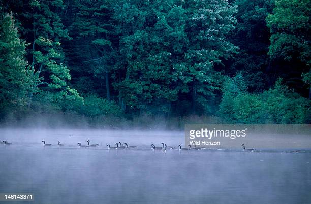 Canada geese at dawn on Goose Pond added to the Walden Pond State Reservation in 2002 Branta canadensis Goose Pond retains the beauty and tranquility...