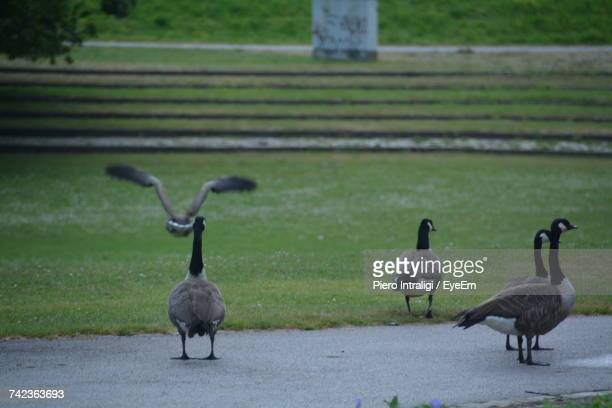 Canada Geese At Park