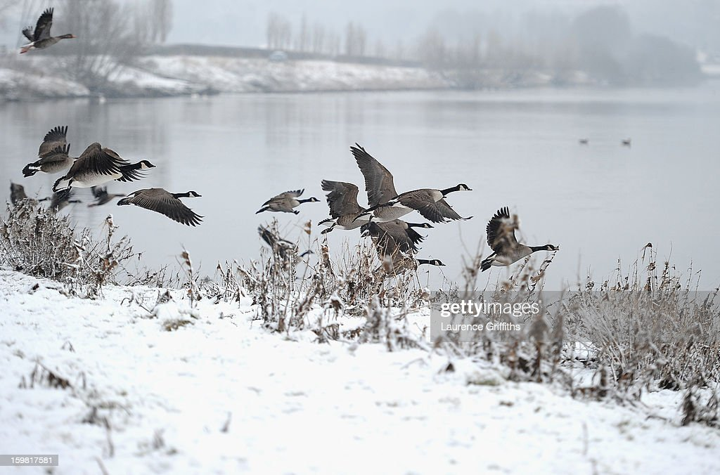 Canada Geese fly from the snow covered banks of the River Trent on January 21, 2013 in Nottingham, United Kingdom. The United Kingdom has suffered a weekend of heavy snowfall with many transport routes affected.