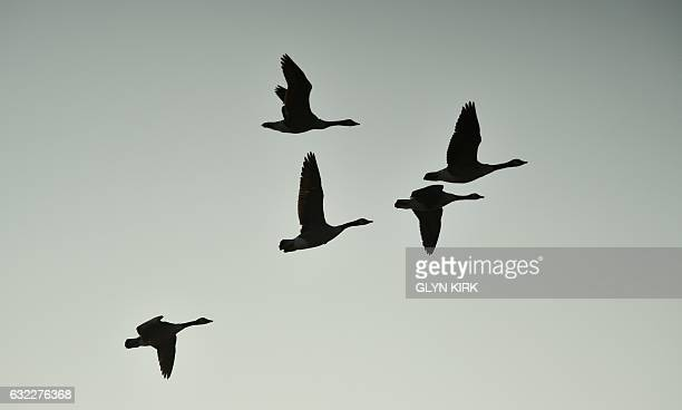 Canada Geese fly in at sunrise to The Wildfowl and Wetlands Trust centre in Arundel on January 21 2017 / AFP / GLYN KIRK