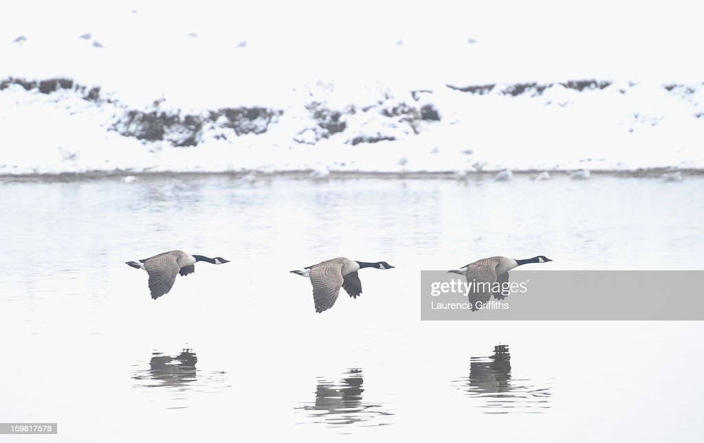 Canada Geese fly past the snow covered banks of the River Trent on January 21, 2013 in Nottingham, United Kingdom. The United Kingdom has suffered a weekend of heavy snowfall with many transport routes affected.