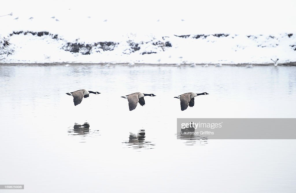 Canada Geese fly past the snow covered banks of the River Trent on January 21, 2013 in Nottingham, United Kingdom. As the UK's cold snap continues, parts of the country including the South West and Wales were bracing themselves for even more snow, forecast to arrive tonight and tomorrow.