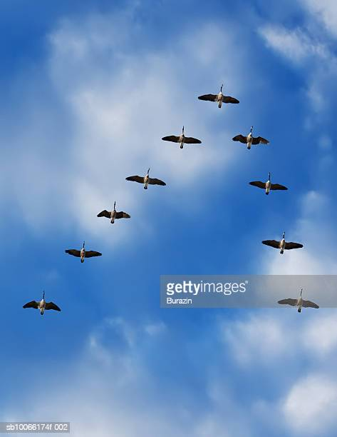 Canada geese in flight, low angle view