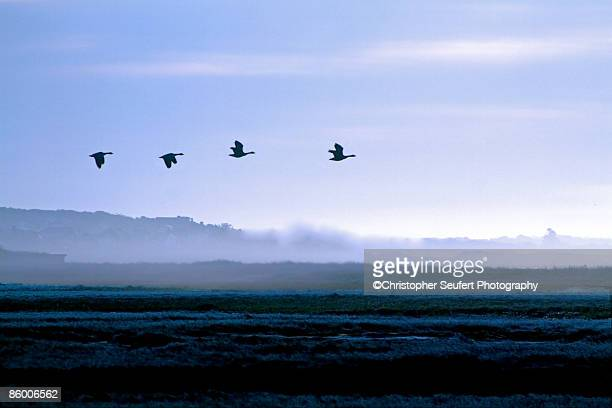 Canada Geese in Migration