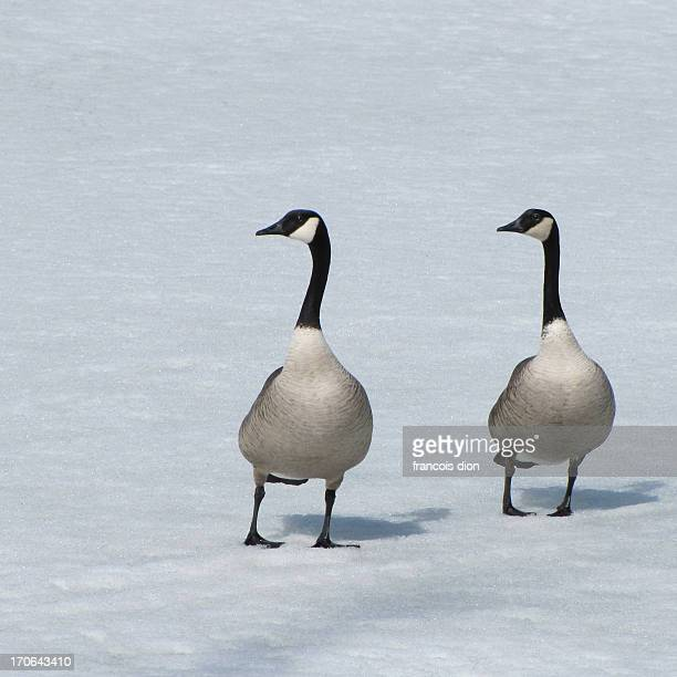 Canada geese in snow