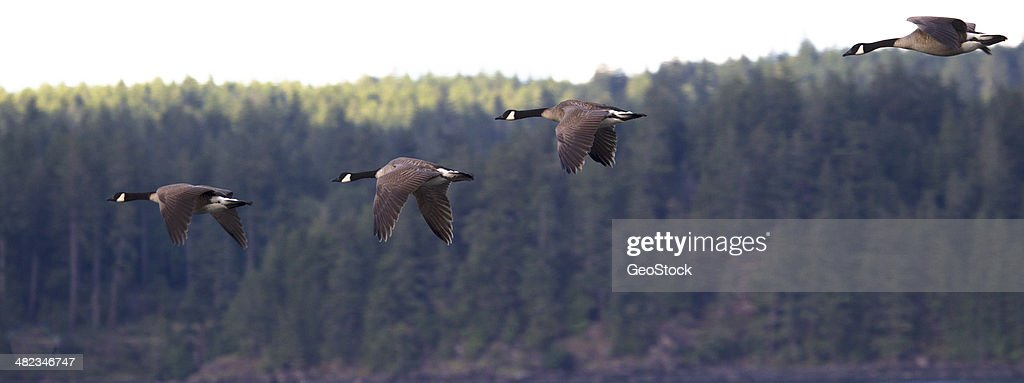 Canada geese, migrating north