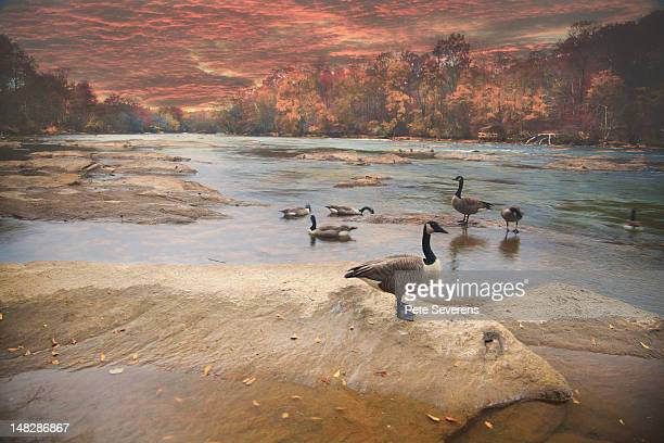 Canada Geese on river