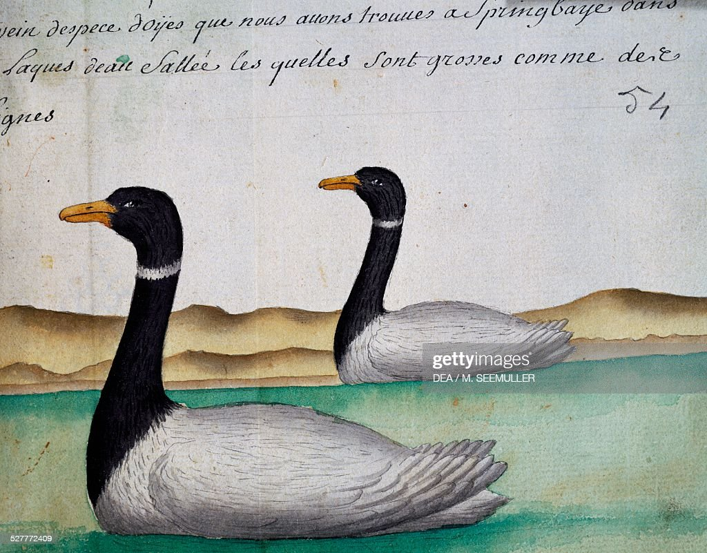 Canada Geese Springbaye Salt Lakes Region watercolour from the log book by Jacques Gouin de Beauchesne captain of the Compagnie royale de la Mer du...