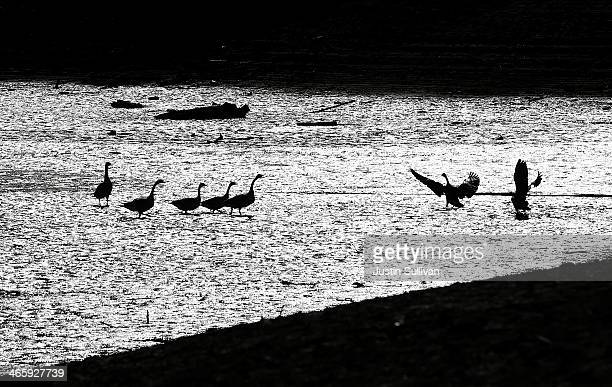 Canada Geese walk on mud that used to be the bottom of the Stevens Creek Reservoir on January 30 2014 in Cupertino California Now in its third...