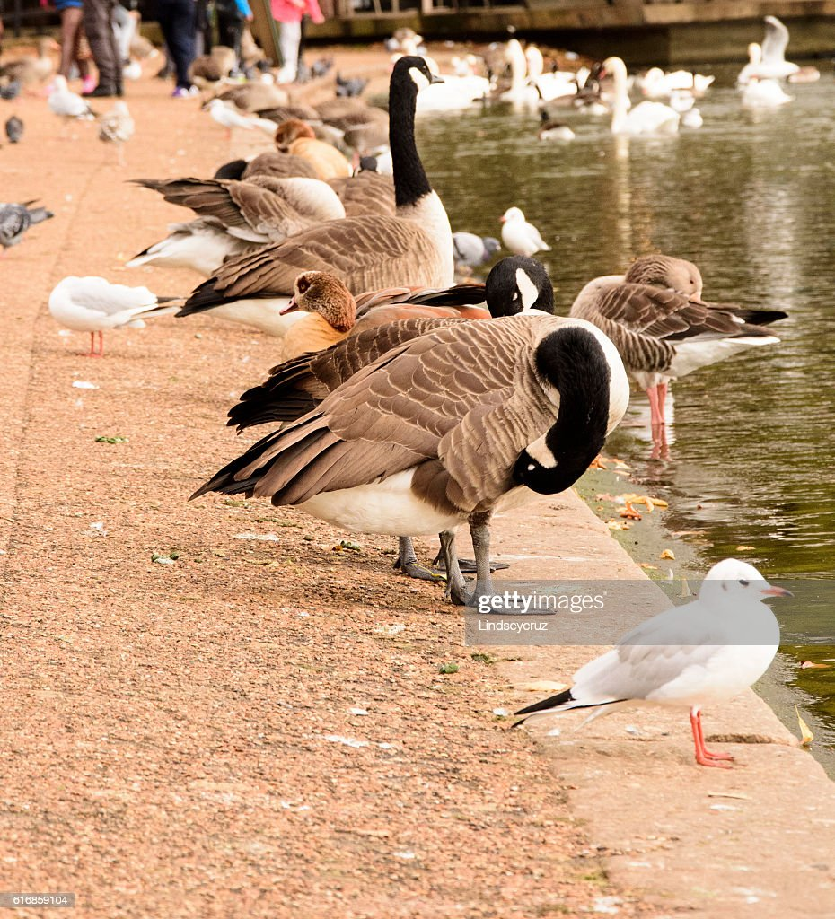 Canada Goose and others : Stock Photo