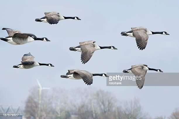Canada goose Branta canadensis (image size XXL)