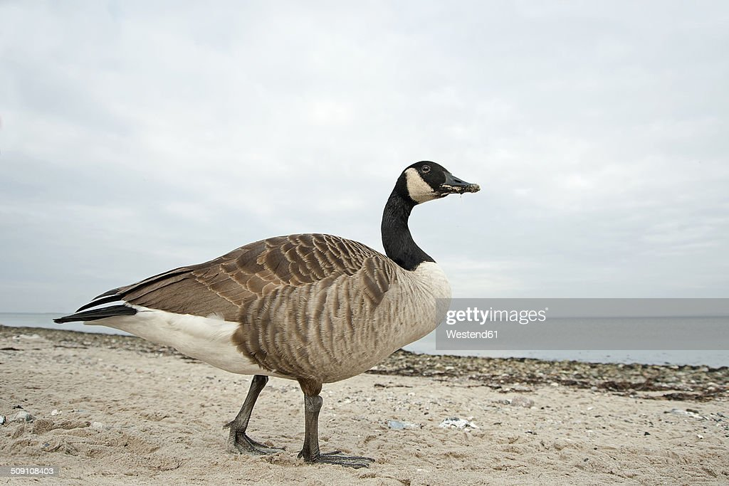 Canada goose, Branta canadensis, walking on beach