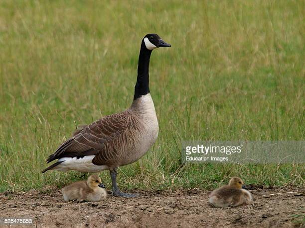 Canada Goose Branta canadensis with chicks UK